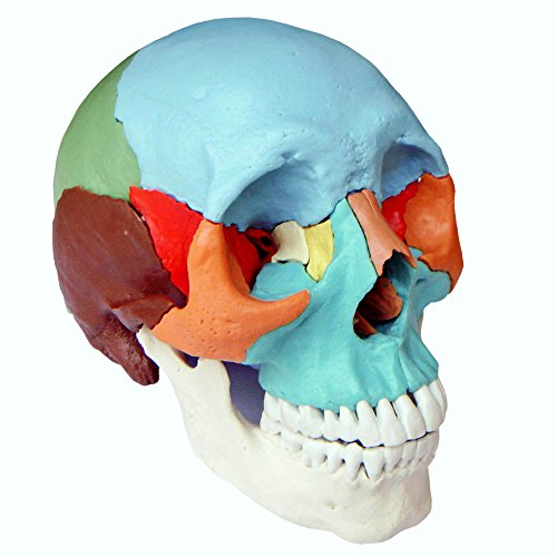 Cranstein E-216 Osteopathie Schädelmodell, 22-teilig, didaktische Version
