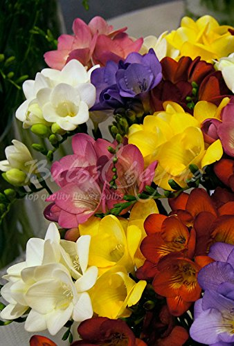 200 Bulbes de Freesia (à fleurs simples) en mélange - Livraison gratuite