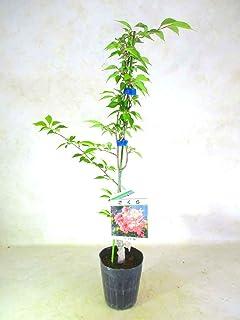十月桜 ジュウガツサクラ 全高:約50~60㎝ 3.5号黒ポット サクラ 苗木