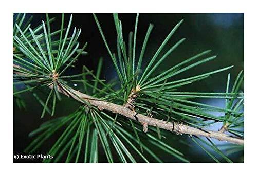 Cedrus deodara - Cèdre de l Himalaya - 10 graines