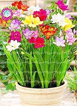 Potseed 100pcs / Bag Kleine Freesie, Freesie Samen Blumensamen Exotische Samen Gartendeko Topfpflanze für Hausgarten