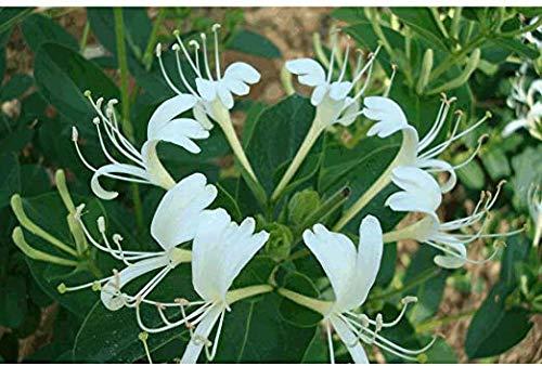 zumari 25 semillas de flores de madreselva