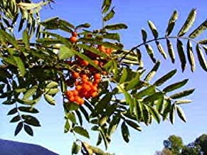 20 ASH Tree Mountain/Amur / Rowan - Sorbus Aucuparia Seeds