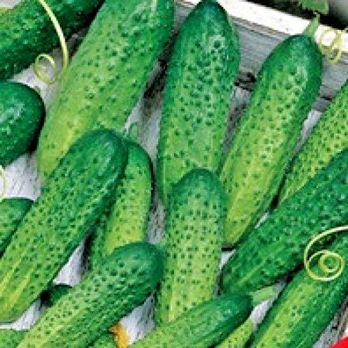 ScoutSeed Samen pflanzliche Bio-Cucumis Gurke gehandelt F1 ERA aus der Ukraine