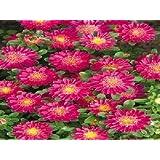 アスターの種ファンディープローズフラワー種子 - 100個の種子