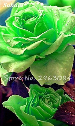 Big Promotion! 24 couleurs des plantes en pot Rose Graines Graines de fleurs vivaces Indoor Bonsai Fleurs Graines Plante-200 Pcs 12