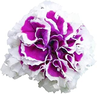 Purple Piroutte Petunia Seeds UPC 695928803484 (100)