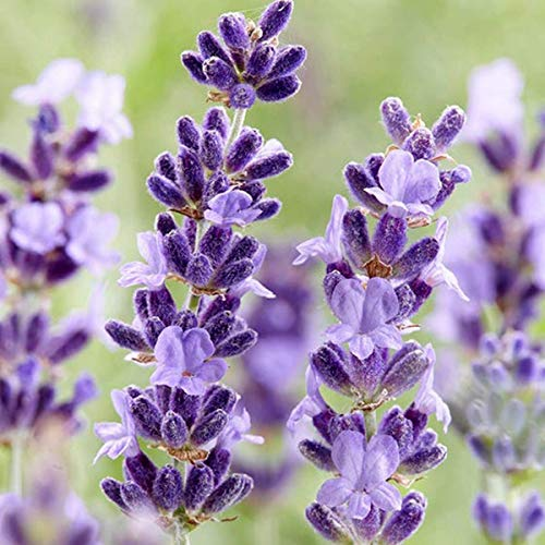 Welldales 50 Purple Rain Lavender Seeds Fragrant Plants for Gardens Oils Cream & Perfume