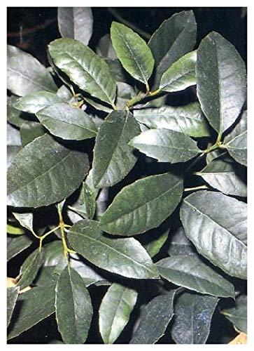 TROPICA - Mate - Teestrauch (Ilex paraguaensis) - 100 Samen