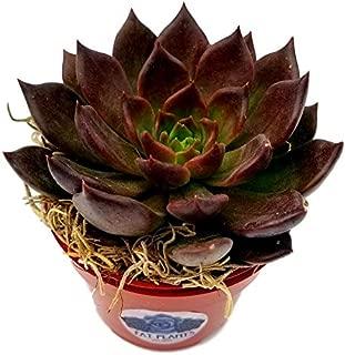 Fat Plants San Dieg Echeveria Succulent Plant (4 inch, Black Prince)