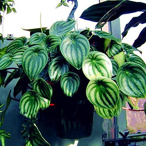 Bloom Green Co. 100pcs Seltene Peperomia Sandersii Bonsai exotische Blume Pflanze Melone Blätter Bonsai Dekoration Geschenk Heim & amp; Garten: mix