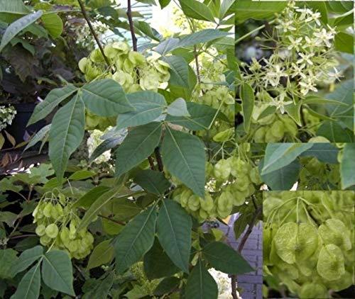 Kleeulme - Lederbaum - Ptelea trifoliata - stark duftend - Krautmedizin