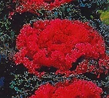 GEOPONICS 30 + Redbar rotblühende KALE Blumensamen