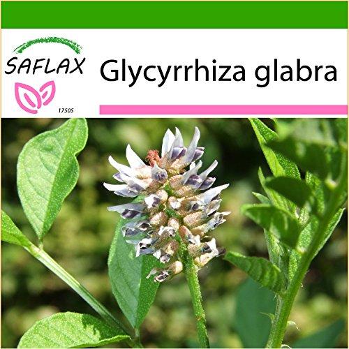 SAFLAX - Kräuter - Süßholz/Lakritze - 30 Samen - Mit keimfreiem Anzuchtsubstrat - Glycyrrhiza glabra