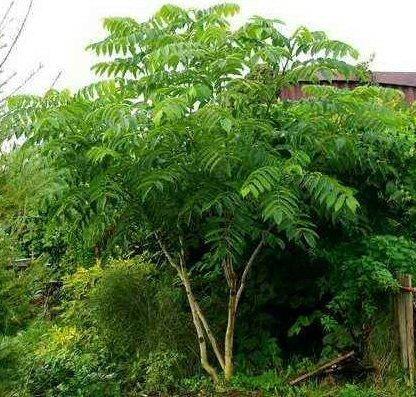 Tree Seeds Online - Juglans Sieboldiana. Japonais Noix 2 Rare Semences - Lot de 10
