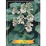 Beetpflanzen (Hosta grün/weiß (Funkie) Hosta fortunei 'Aureao Marginata'