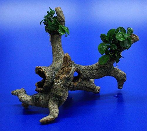 WFW wasserflora Bonsai Speerblatt-Urwaldbaum mit Höhle/Regenwaldbaum mit Anubias 'Petite' - 'Bonsai'