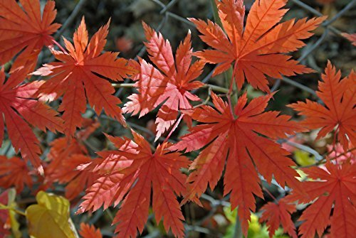 Korean Maple - Tolerates Extreme Cold, Surviving In Climates Where Japanese Maples Cannot, Hardy to -40F - 2 Year Live Plant