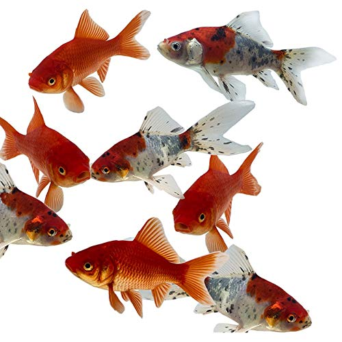 pond fishes Toledo Goldfish Live Shubunkin and Comet Goldfish Combo for Ponds or Aquariums – USA Born and Raised – Live Arrival Guarantee (3 to 4 inches, 6 Fish, 3 of Each)