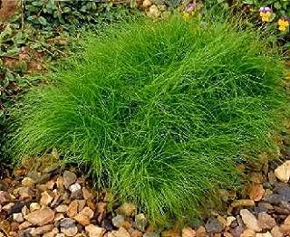 Isolepis cernua Fiber Optic Grass MSP 1.000 seeds