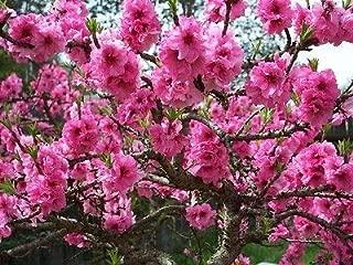 Best saturn peach tree Reviews