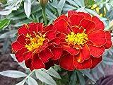 SEEDVALLEY Marigold francés Safari roja importada