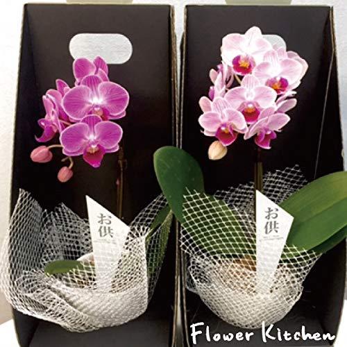 産地直送の花ギフト 椎名洋ラン園のマイクロ胡蝶蘭 2.5号鉢 1本立ち お供え用 陶器鉢入り