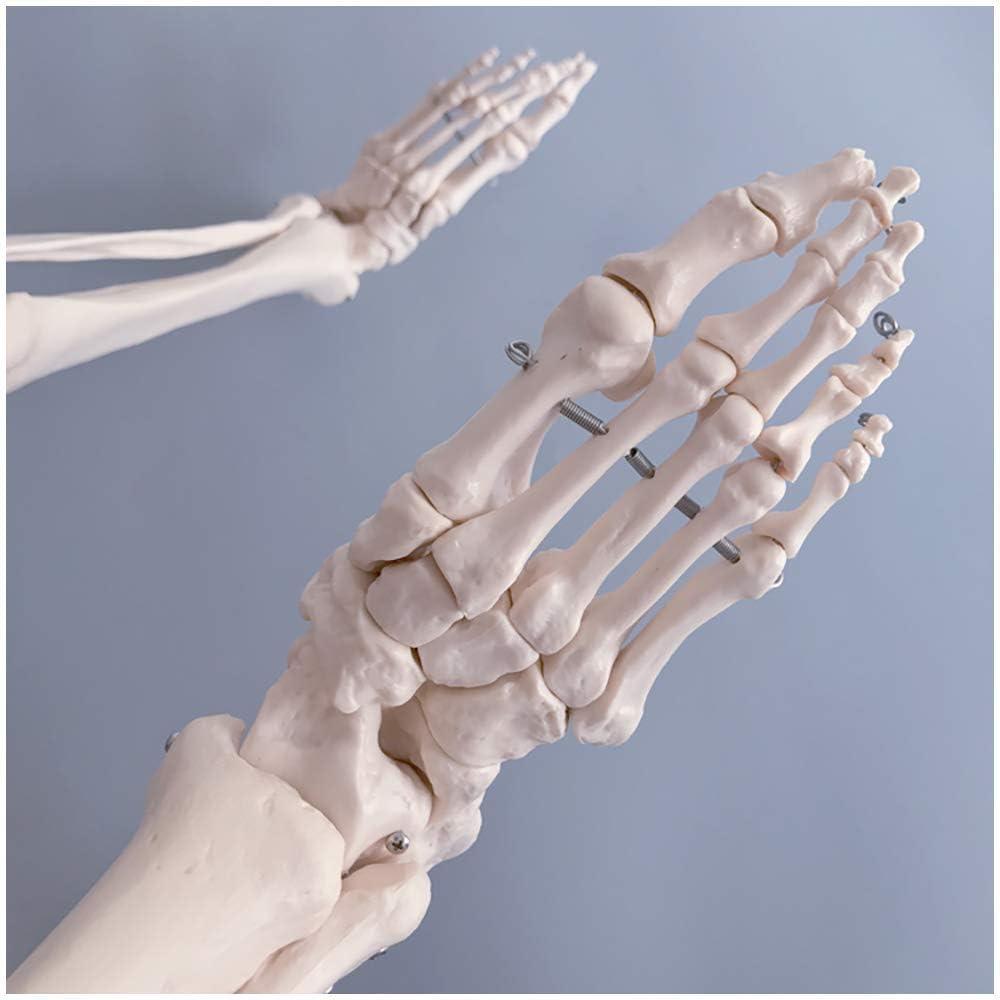 Modelo Educativo Modelo de Miembro Inferior de tamaño Natural Modelo de Huesos de Miembro Inferior Médico Anatómico Humano Miembro Inferior Articulación de la extremidad Fémur Tibia Hueso del pie Esq