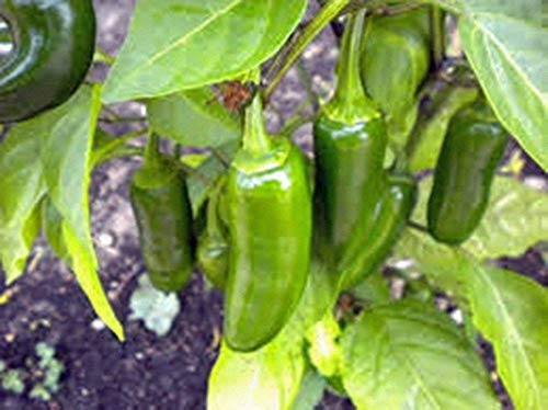 Pfeffer, Early Jalapeno CHILLE Pfeffersamen, Heirloom, Organic 20 Seeds, würziger G