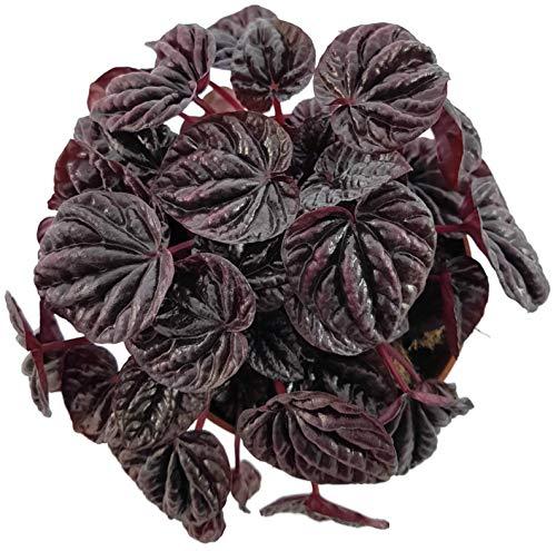 """Fangblatt - Peperomia caperata""""Schumi Red"""" - tropisches Pfeffergewächs - dekorative Zierpflanze für Ihr Zuhause - Blattschmuckpflanze"""