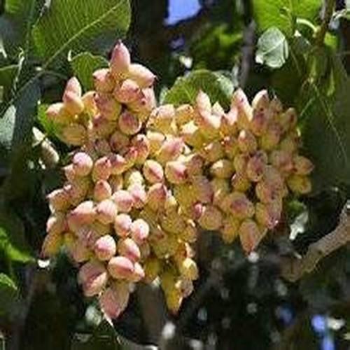 10 Semi Pistacchio albero (Pistacia vera)