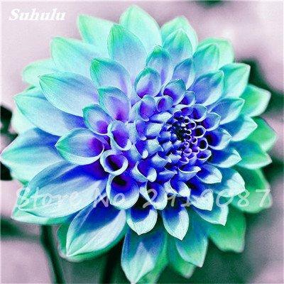 50 Pcs rares Graines Bonsai Dahlia (non Dahlia Bulbes) Mixte magnifique Fleurs chinois Balcon Plante en pot Maison et Jardin 5