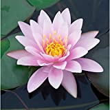 Chalily Live Aquatic Hardy Water Lily | Pre-Grown,...