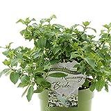 Large Hydrangea Runaway Bride - Garland Hydrangea 6L Pot