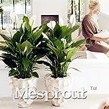 100 pcs / sac, graines Spathiphyllum, balcon en pot, la plantation est simple, le taux de...