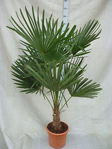 Trachycarpus fortunei, Palme, Hanfpalme Winterhart, Gesamthöhe:120-140cm Stamm. 30+cm - Topf Ø 30 cm - 15 Ltr