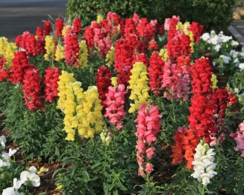 100 Graines semence fleur muflier des jardins demi-naine gueule de loup antirrhinum majus nanum