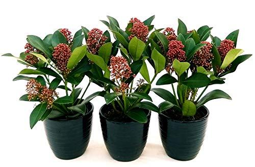 SKIMMIA RUBELLA 3 Pflanzen Topf 11 cm, echte Pflanzen