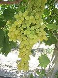 Weinbeeren hell - Premium gelbe Rosinen getrocknet ungezuckert von Sultans Palace (2000 gr) - 3