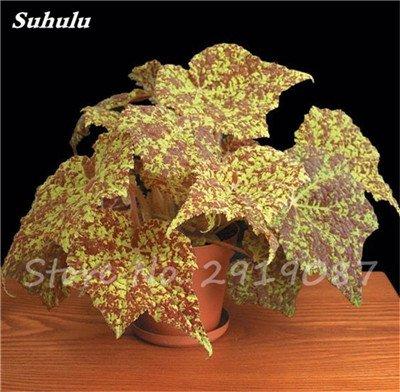 Janpanse Bonsai coleus Seeds 50 Pcs Plantes feuillage couleur parfaite arc Graines Belle mixte Fleur Flore Jardin Sement 9