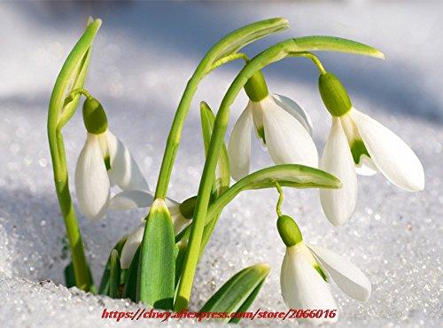 Galanthus nivalis Samen 200PCS Schneeglöckchen Blumensamen Schöner Garten Einfrieren Pflanzen Bonsai Balkonblume
