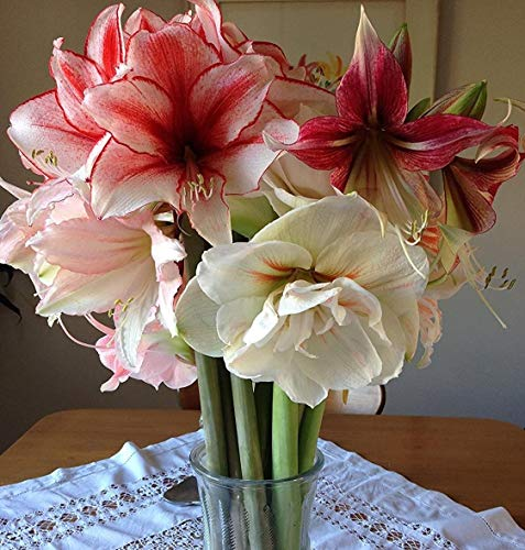 Red, Pink and White Amaryllis Jingle Bells Mix Collection - 3 Premium Amaryllis Bulbs - Easy to Grow