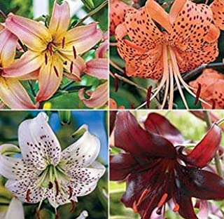 Pretty Flowering Hybrid Tiger Lily Mix (3) Blooming Size Bulbs-Sale-Plant Now Ready to Ship Now