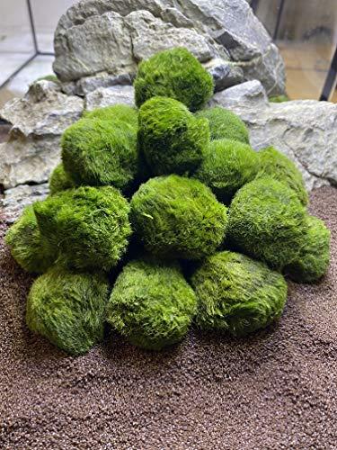 Topbilliger Pflanzen Mooskugeln 5X - 3-4 cm - natürlicher Biofilter für`s Aquarium
