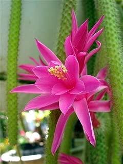 Rare Rattail Cactus - Aporocactus - Very Easy to Grow - 4