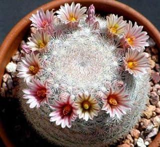Mammillaria candida @J@ rare cactus cacti seed 20 SEEDS