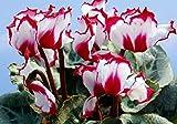 100pcs 12kinds semi di ciclamino, semi in vaso, semi di fiore, varietà completa, il tasso di erba 95%, l'assorbimento di radiazione (colori misti)