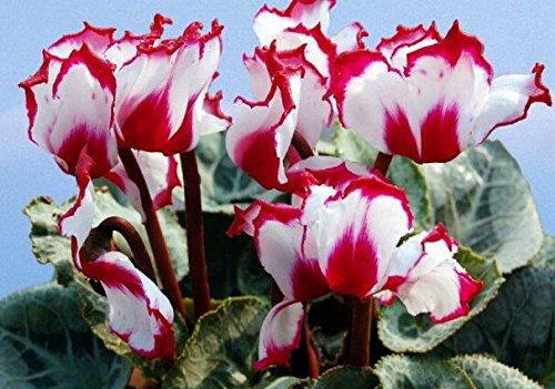 50 Teile/beutel 12 Arten Alpenveilchen Samen, Topf Samen, Blumensamen, Angehende Rate 95%, Anti Strahlung, Luftreinigen, Gartenpflanze Bonsai