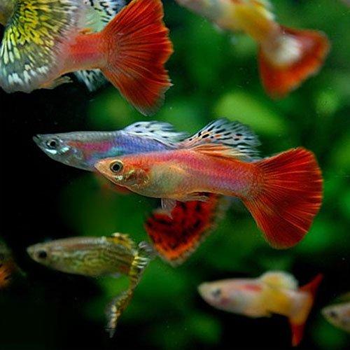 (熱帯魚)ミックスグッピー (外国産 (約3cm)<20ペア>[生体]