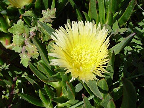 Asklepios-seeds® - 50 Samen Carpobrotus edulis, Essbare Mittagsblume, Pferdefeige, Hottentottenfeige